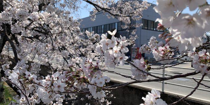2019年4月9日 昼休みに見る桜