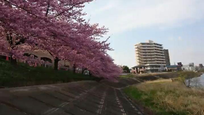 河津桜│2018-03-15|MOV_0825.mp4