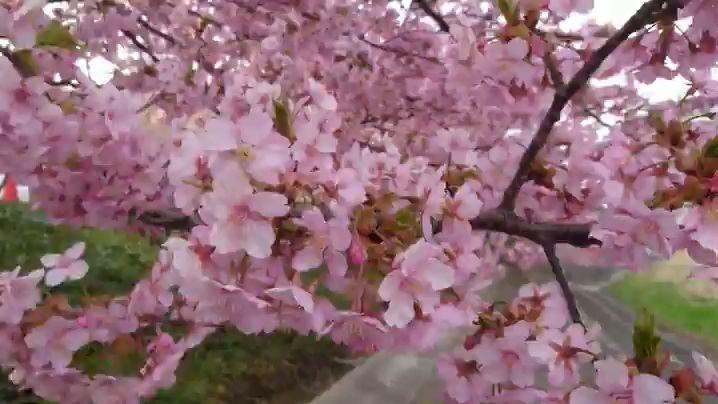 河津桜│2018-03-15|MOV_0826.mp4