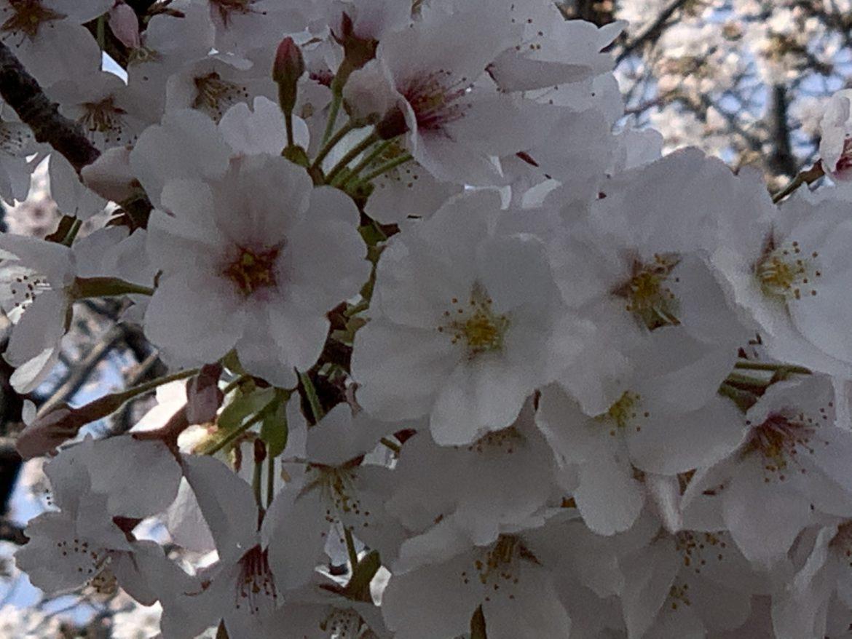 さくら 2020-04-03-photos